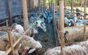 catering paket aqiqah murah di depok kambing terbaik gratis ongkir