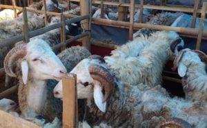layanan rumah aqiqah di bandung termurah kambing tanpa prengus