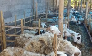 layanan paket aqiqah di jakarta timur termurah kambing bebas prengus